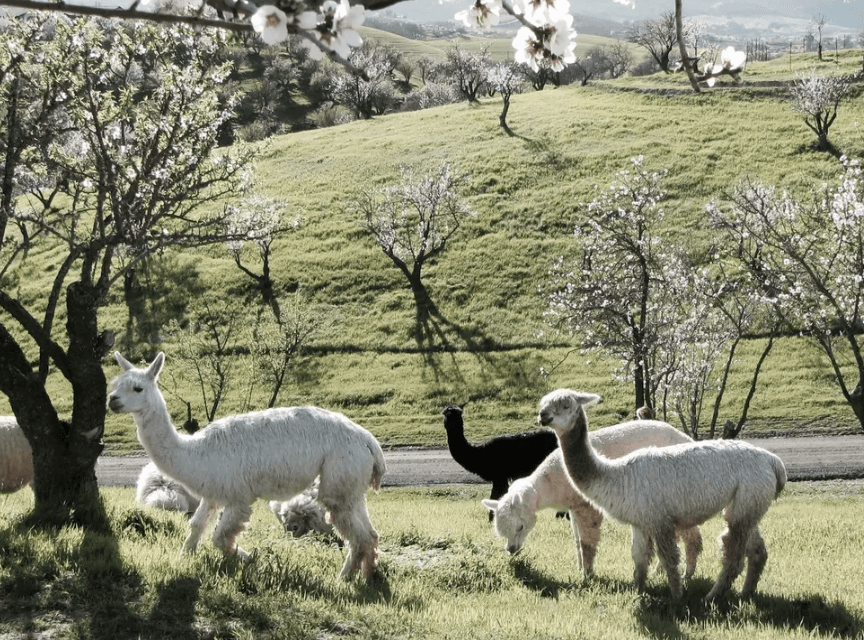 Alpaca Your Bags For A Trip To This Airbnb At A Working Alpaca Ranch