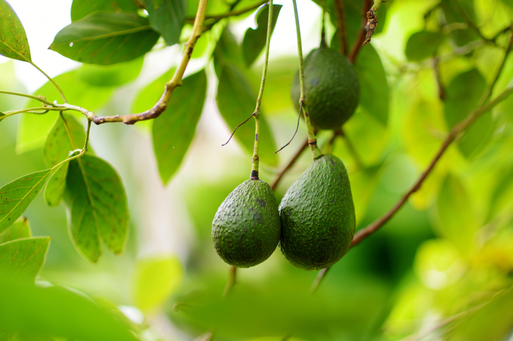 You Can Grow Your Own Avocado Tree With This Handy $11 Kit