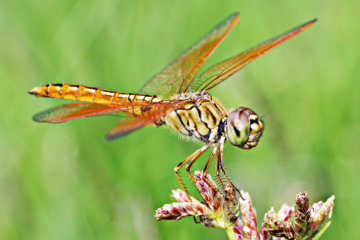 Female Dragonflies Fake Their Own Deaths To Avoid Annoying Males