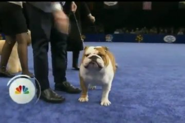 Thor The Chunky Bulldog Won The National Dog Show And It Was A Well-Deserved Victory
