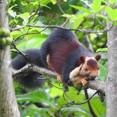 These Giant Multicolored Squirrels Can Grow Up To 3 Feet Tall