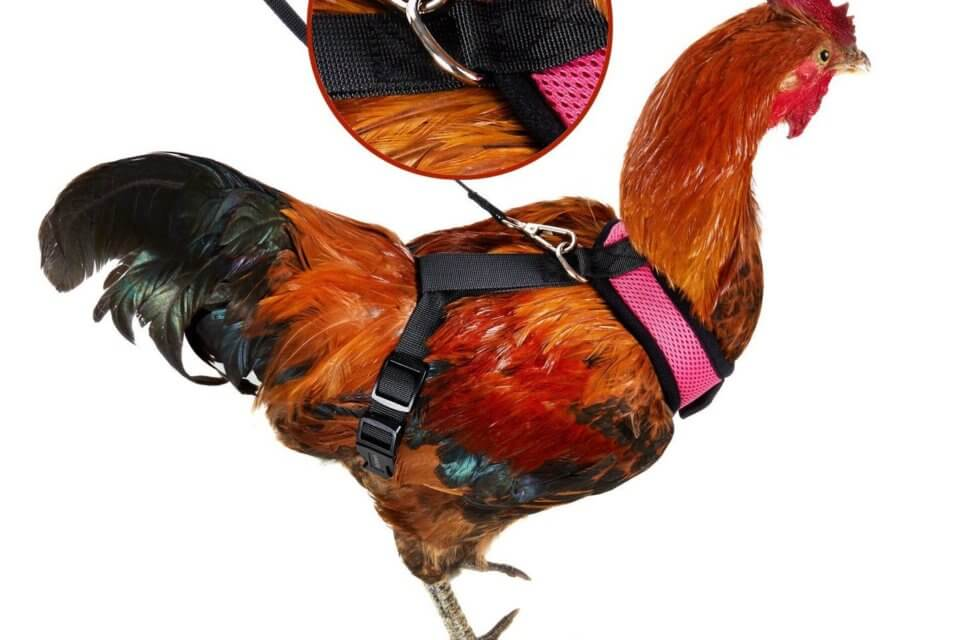 You Can Buy A Harness For Your Chicken To Safely And Stylishly Cross The Road