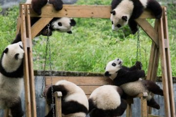 Panda Daycare Is The Cutest Thing You'll See Today