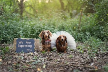 Adorable Dachshund Mom Poses With Puppies In Incredible Photoshoot