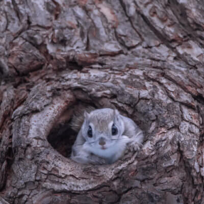 These Adorable Tiny Flying Squirrels Can Only Be Found On An Island In Japan