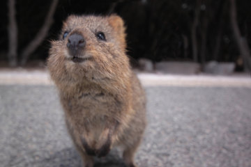 Quokkas Are The World's Happiest Animal And They're Ridiculously Cute Too