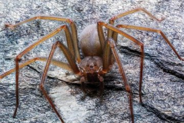 Newly Discovered Spider Species Can Rot Human Flesh With One Bite