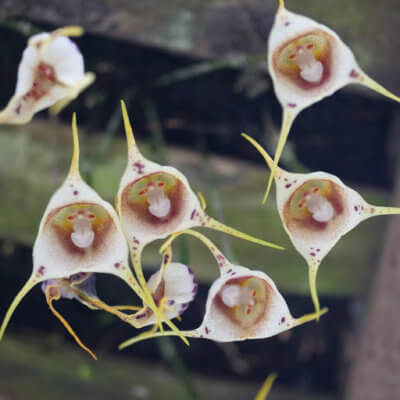 These Orchids Look Like Little Monkey Faces And They Might Be The Cutest Flowers Ever