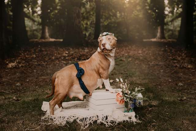 This Rescued Pit Bull Got Her Own Maternity Photoshoot And The Photos Are Adorable