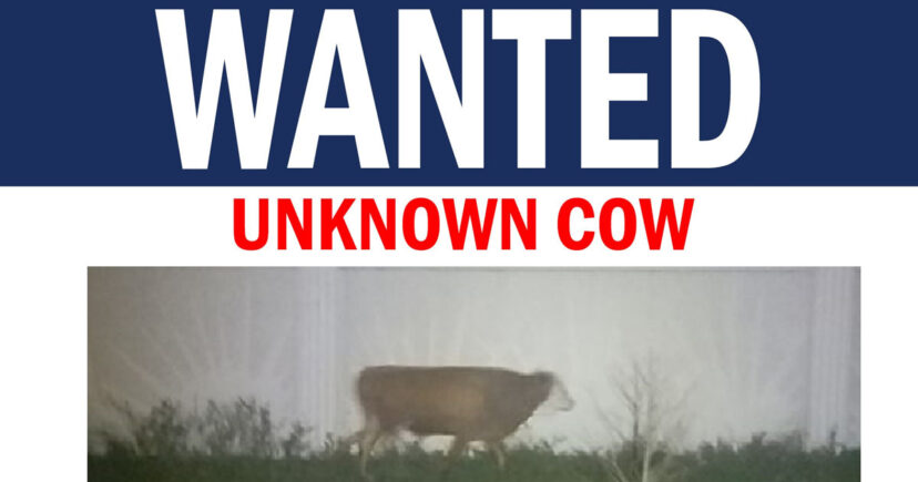Florida Police Release Wanted Poster For Runaway Cow Missing Since January