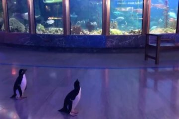 Penguins Allowed To Run Around Chicago Aquarium After It Closes To The Public