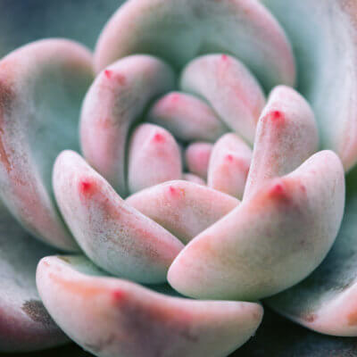 Blush Succulents Are The Prettiest Pink Plants You'll Ever See