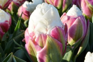 Ice Cream Tulips Are The Most Edible Looking Flower You'll Ever See
