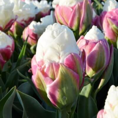 Ice Cream Tulips Are The Most Edible Looking Flower You Ll Ever See