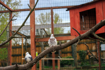 These Curly Frillback Pigeons Look Like They've Been Permed (Don't Worry, They Haven't)