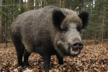 Feral Pigs Found And 'Destroyed' $22,000 Worth Of Cocaine Hidden In The Forest