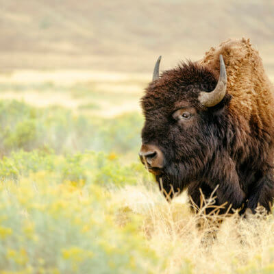 Hunter Gets Gored Through Leg By Dying Buffalo In A Perfect Moment Of Poetic Justice
