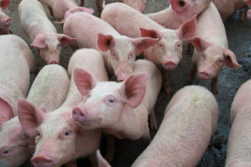 New Flu Virus With 'Pandemic Potential' Discovered In Pigs In China