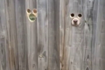 Dog Owner Cuts Holes In Fence So Her Pups Can Watch For Her To Come Home