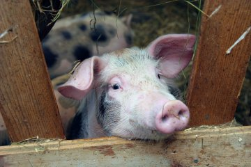 Genius Pig Escapes Slaughter By Leaping Out Of The Back Of Truck Headed To Abattoir