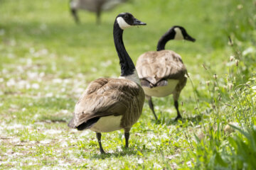 Worried Canadian Goose Checks On Its Mate As It's Having Surgery
