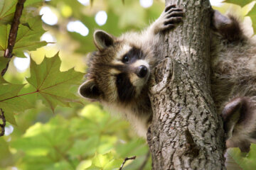 Raccoon Is Super Embarrassed After Having To Be Rescued By Fire Department