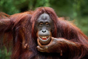 Orangutan Tries On Sunglasses After Zoo Visitor Drops Them