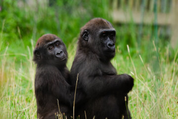 Parents Horrified As Gorillas Start Having Oral Sex In Front Of Kids At Zoo